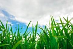 Ciérrese para arriba de hierba gruesa fresca con descensos del agua en la madrugada Foto de archivo libre de regalías
