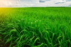 Ciérrese para arriba de hierba gruesa fresca con descensos del agua en la madrugada Imagen de archivo