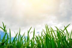 Ciérrese para arriba de hierba gruesa fresca con descensos del agua en la madrugada Fotografía de archivo