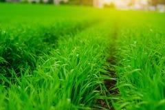 Ciérrese para arriba de hierba gruesa fresca con descensos del agua en la madrugada Imagen de archivo libre de regalías