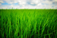 Ciérrese para arriba de hierba gruesa fresca con descensos del agua en la madrugada Fotos de archivo libres de regalías