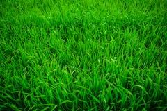 Ciérrese para arriba de hierba gruesa fresca con descensos del agua en la madrugada Imagenes de archivo