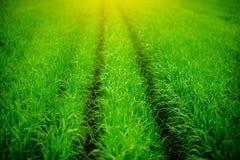 Ciérrese para arriba de hierba gruesa fresca con descensos del agua en la madrugada Fotografía de archivo libre de regalías