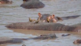 Ciérrese para arriba de hipopótamos en el río y de pájaros que comen parásitos de la piel animal metrajes