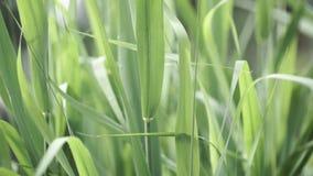Ciérrese para arriba de hojas del maíz no maduro Planta de maíz no madura con las hojas verdes Hojas del maíz no maduro almacen de video