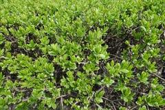 Ciérrese para arriba de hojas jovenes frescas en el arbusto en primavera Fotos de archivo libres de regalías