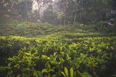Ciérrese para arriba de hojas de té macras Plantación de Ceilán una puesta del sol Lugar popular de Sri Lanka imagen de archivo