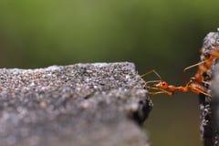 Ciérrese para arriba de hormiga roja en naturaleza Imagen de archivo libre de regalías