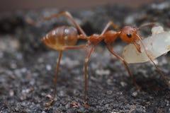 Ciérrese para arriba de hormiga roja en naturaleza Foto de archivo