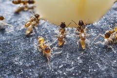 Ciérrese para arriba de hormigas de fuego importadas rojo y de x28; Invicta& x29 del Solenopsis; o simpl imagenes de archivo