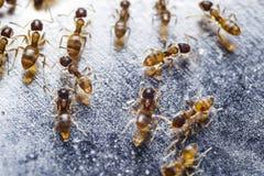 Ciérrese para arriba de hormigas de fuego importadas rojo y de x28; Invicta& x29 del Solenopsis; o simpl foto de archivo libre de regalías