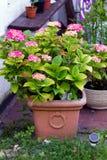 Ciérrese para arriba de hortensias del rosa Assorted en el jardín Fotos de archivo
