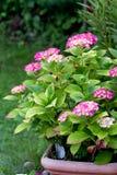 Ciérrese para arriba de hortensias del rosa Assorted en el jardín Fotografía de archivo