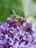 Ciérrese para arriba de Hoverfly que alimenta en la flor del Buddleia Fotos de archivo