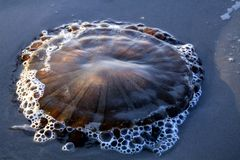 Ciérrese para arriba de hysoscella del Chrysaora de las medusas del compás que brilla intensamente en la arena volcánica negra en fotos de archivo