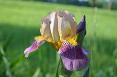 Ciérrese para arriba de Iris Flowering multicolora Fotos de archivo libres de regalías