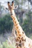 Ciérrese para arriba de jirafa en salvaje Foto de archivo libre de regalías