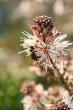Ciérrese para arriba de la abeja de trabajador que poliniza un Wildflower durante la primavera Imagen de archivo libre de regalías