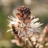 Ciérrese para arriba de la abeja de trabajador que poliniza un Wildflower durante la primavera Imagenes de archivo