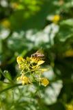 Ciérrese para arriba de la abeja de trabajador que poliniza un Wildflower durante la primavera Fotos de archivo libres de regalías