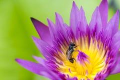 Ciérrese para arriba de la abeja en la flor de loto púrpura Imagen de archivo libre de regalías