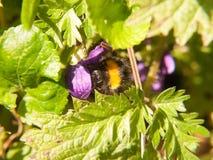 ciérrese para arriba de la abeja negra y amarilla que cosecha la primavera macra Imágenes de archivo libres de regalías