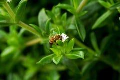 Ciérrese para arriba de la abeja que recoge el polen Imagenes de archivo