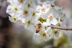 Ciérrese para arriba de la abeja que recolecta el polen de una flor de cerezo blanca Imagenes de archivo