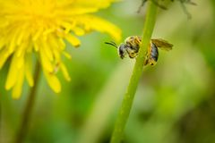 Ciérrese para arriba de la abeja que sostiene encendido el tronco verde del diente de león Fotos de archivo libres de regalías