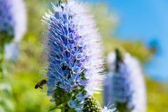 Ciérrese para arriba de la abeja que visita día soleado del lilacin de California en jardín Foto de archivo