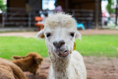 Ciérrese para arriba de la alpaca blanca Fotografía de archivo libre de regalías