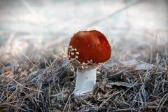 Ciérrese para arriba de la amanita roja Muscaria de la amanita de mosca en el bosque en caída Fondo colorido de la escena del oto imagen de archivo