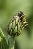 Ciérrese para arriba de la avispa del brote de flor Fotos de archivo libres de regalías