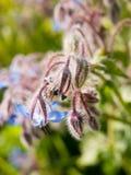 ciérrese para arriba de la borraja, flor del starflower en fresco de la primavera del campo nuevo Fotos de archivo libres de regalías