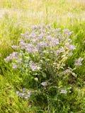 ciérrese para arriba de la borraja, flor del starflower en fresco de la primavera del campo nuevo Fotografía de archivo libre de regalías