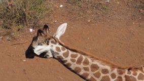 Ciérrese para arriba de la cabeza africana de la jirafa en Savannah Looking At The Camera y el petición almacen de metraje de vídeo