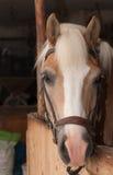 Ciérrese para arriba de la cabeza de caballo, haflinger de la raza del caballo del semental Imagenes de archivo