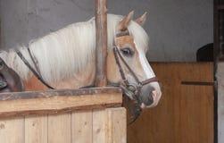 Ciérrese para arriba de la cabeza de caballo, haflinger de la raza del caballo del semental Fotografía de archivo libre de regalías