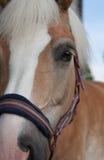 Ciérrese para arriba de la cabeza de caballo, haflinger de la raza del caballo del semental Fotos de archivo libres de regalías