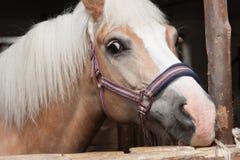 Ciérrese para arriba de la cabeza de caballo, haflinger de la raza del caballo del semental Foto de archivo libre de regalías