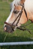 Ciérrese para arriba de la cabeza de caballo, haflinger de la raza del caballo del semental Fotos de archivo