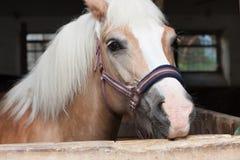 Ciérrese para arriba de la cabeza de caballo, haflinger de la raza del caballo del semental Imágenes de archivo libres de regalías