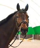 Ciérrese para arriba de la cabeza de un caballo de la doma de la bahía con el freno y control-rienda o martingala Imagen de archivo