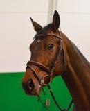 Ciérrese para arriba de la cabeza de un caballo de la doma de la bahía con el freno y control-rienda o martingala Fotos de archivo libres de regalías