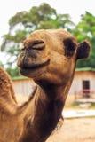 Ciérrese para arriba de la cabeza de un camello imagenes de archivo