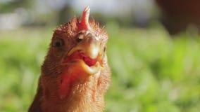 Ciérrese para arriba de la cabeza de un gallo rojo divertido