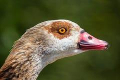 Ciérrese para arriba de la cabeza del ganso Cara egipcia hermosa del ganso Imagen de archivo libre de regalías