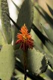 Ciérrese para arriba de la cabeza de flor de Vera del áloe con las hojas del cactus de Turgutreis, Turquía foto de archivo
