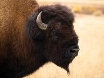 Ciérrese para arriba de la cabeza y del cuello de una Bull Bison Turning para mirar la cámara fotografía de archivo