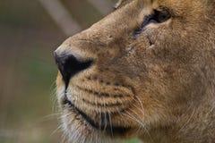 Ciérrese para arriba de la cara de un león Fotos de archivo